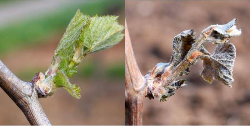 A photo showing the before and after of a bud destroyed by frost and the cold weather.