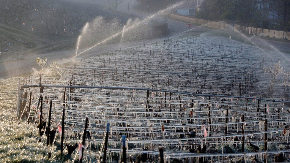 A photo of the vineyards of one of the many French winemakers who sprayed their vines with water to cover them in protective ice.